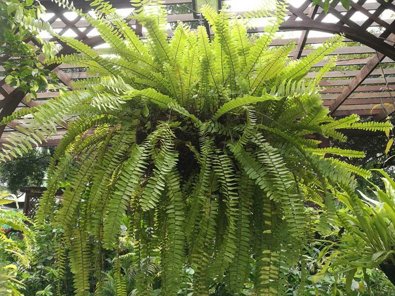 Boston-fern-companion-Dieffenbachia