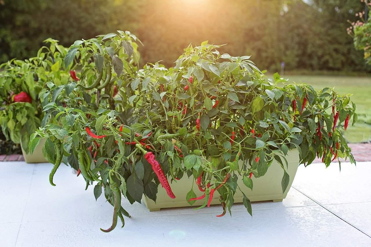 Cayenne-Pepper-Plant