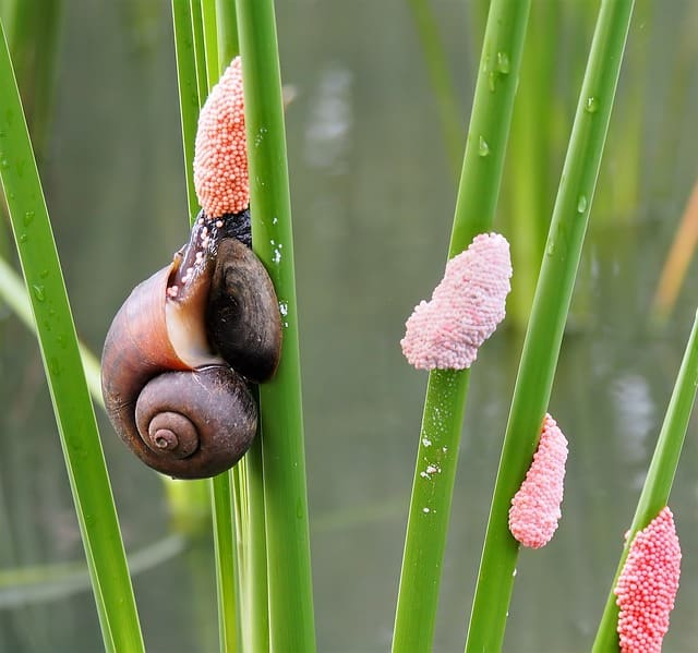 snail-eggs