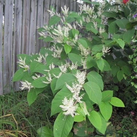 plants-mistaken-for-japanese-knotweed
