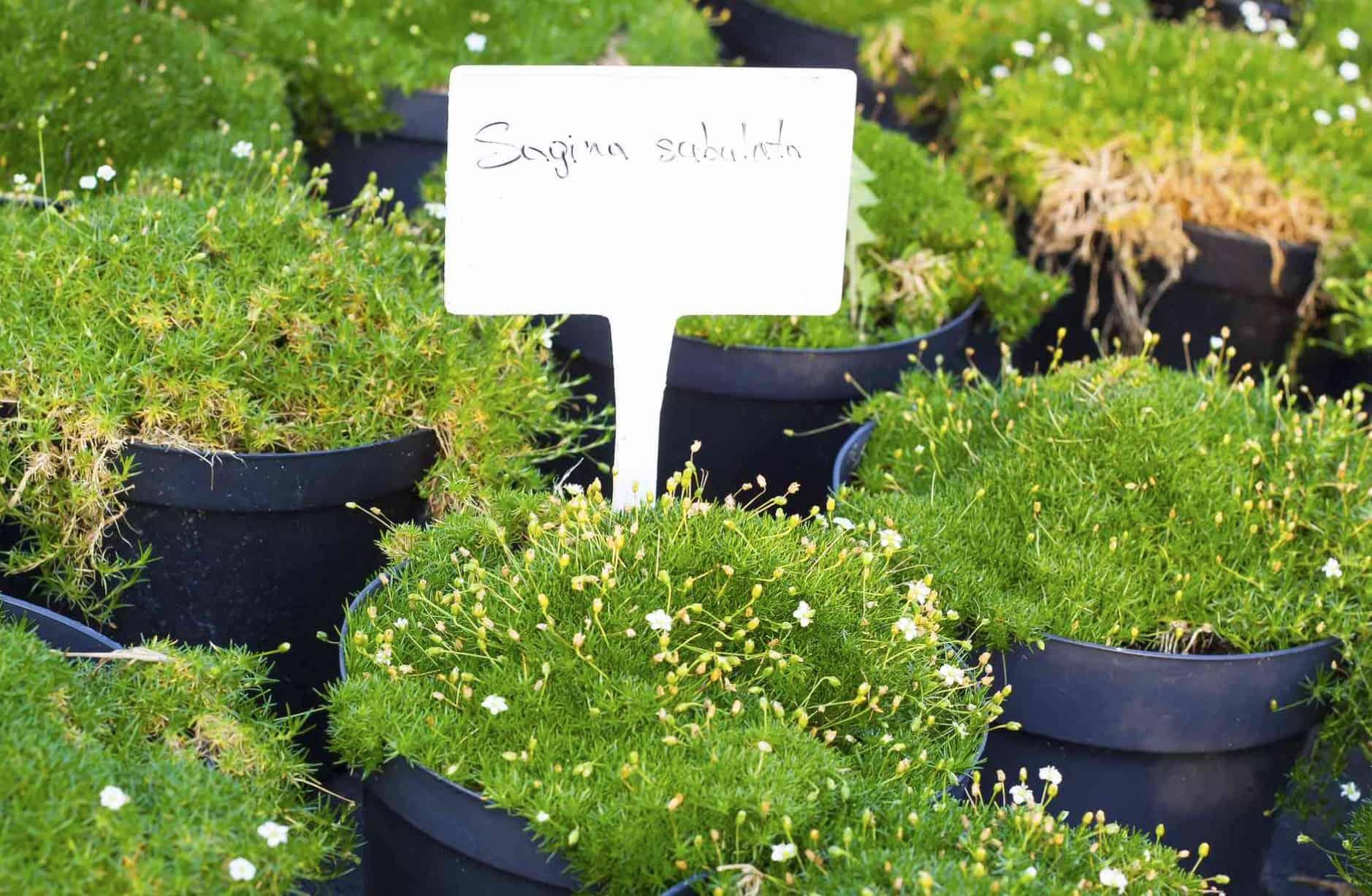 irish-moss-plants