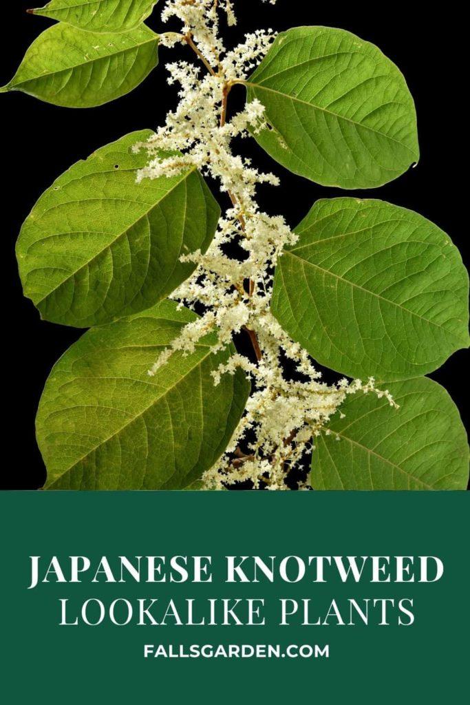japanese-knotweed-lookalike-plants
