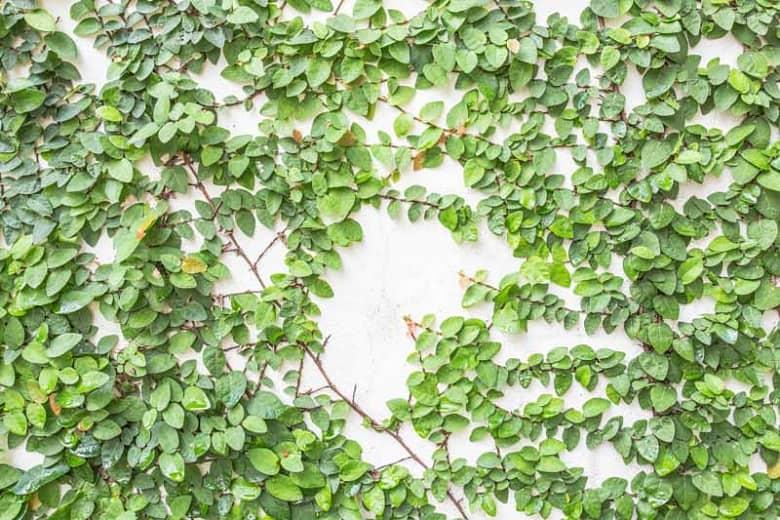 Ficus-pumila