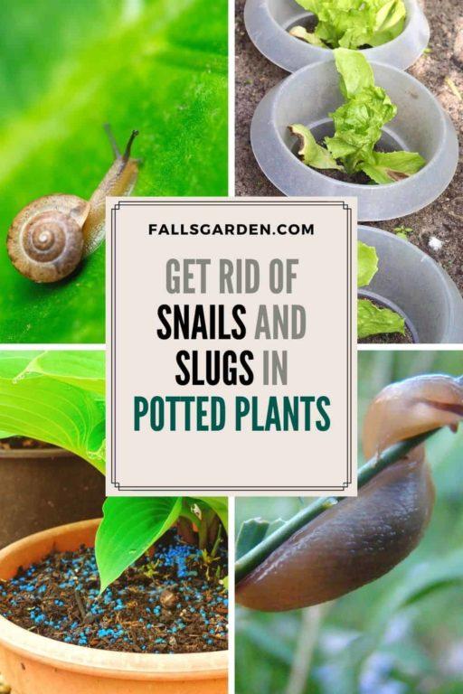 snails-slugs-in-potted-plants