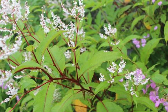 Himalayan-knotweed