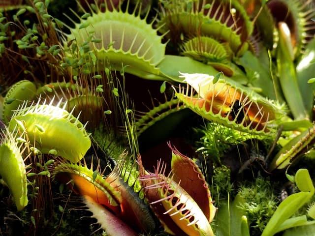 can-you-eat-venus-flytraps