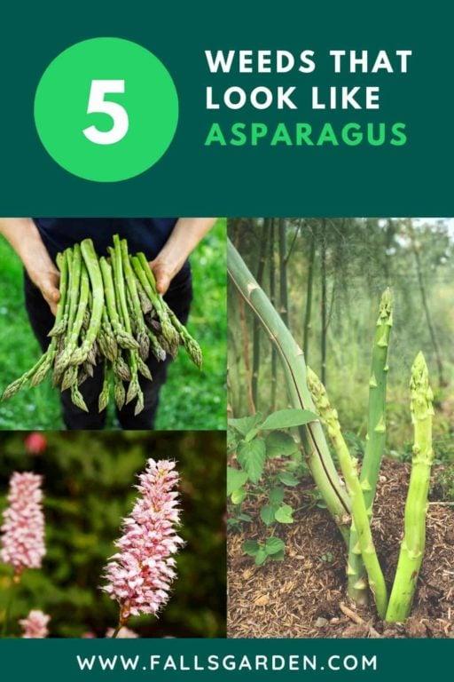 weeds-that-look-like-asparagus