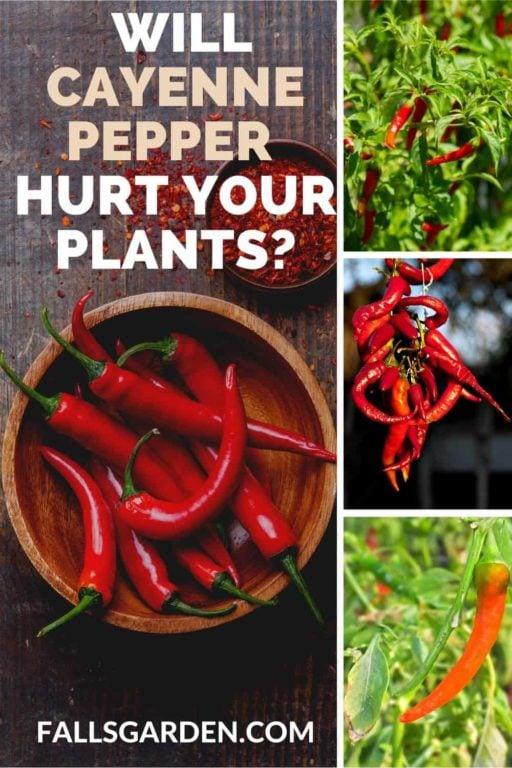 will-Cayenne-Pepper-Hurt-Plants
