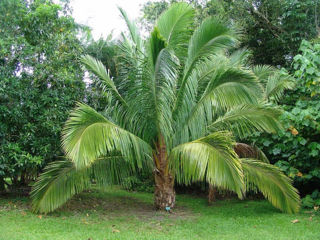 high-plateau-coconut