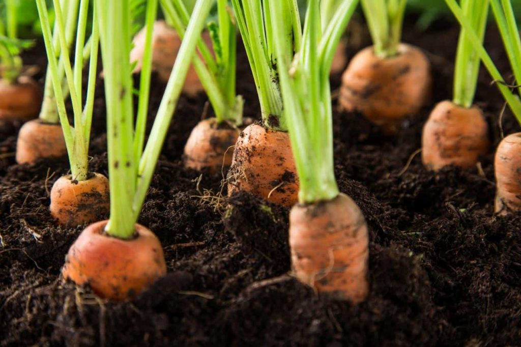 kerosene-in-carrot-beds