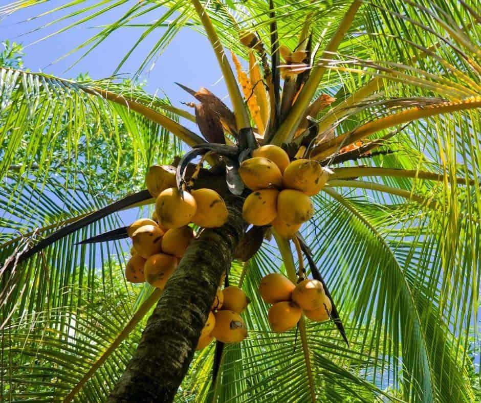 coconut-bearing-tree