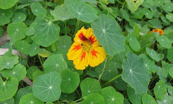 Nasturtiums-with-spinach