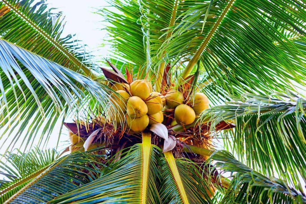 palm-tree-vs-coconut-tree