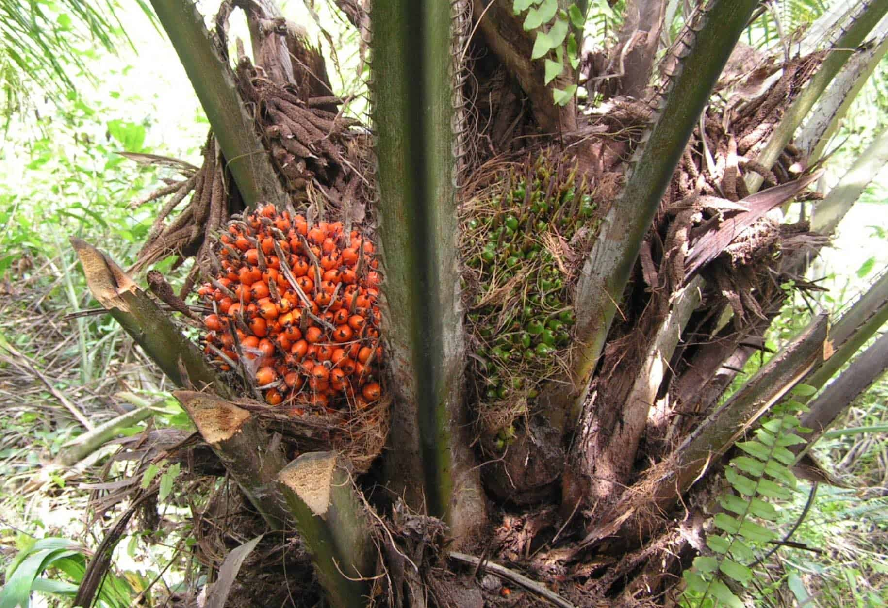 african-oil-palm-tree