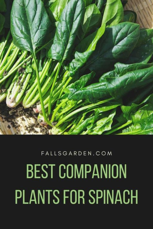 best-companion-plants-for-spinach
