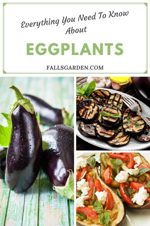 everything-about-eggplants