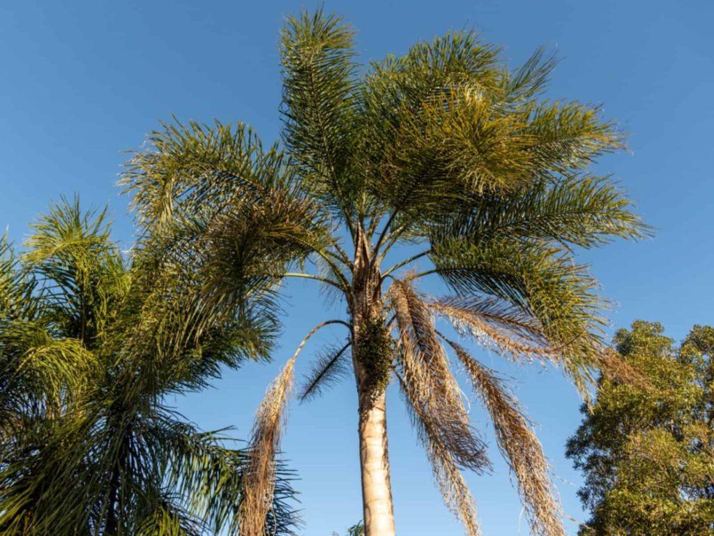 queen-palm