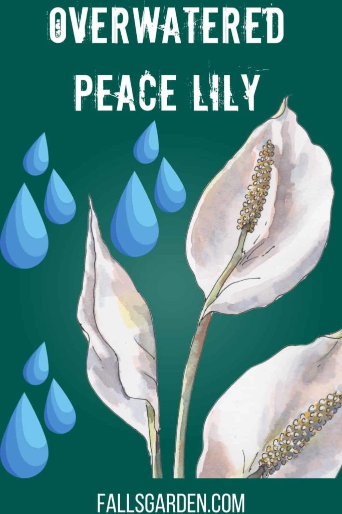 overwatered-peace-lily-identification-and-revival
