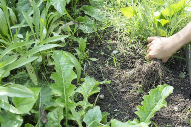 use-kerosene-to-destroy-weeds