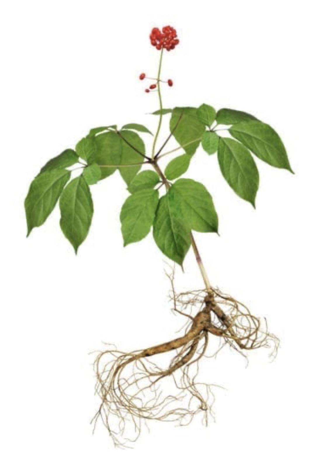 Ginseng-plant