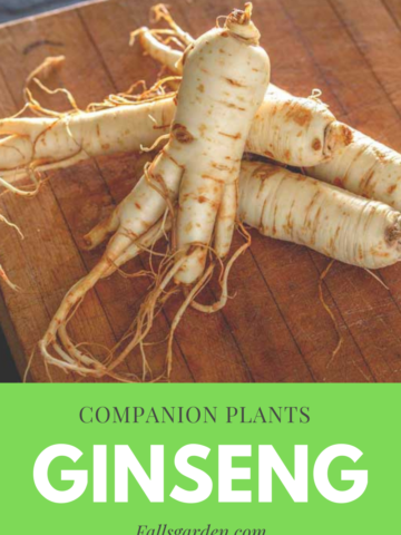 Best-companion-plants-for-ginseng