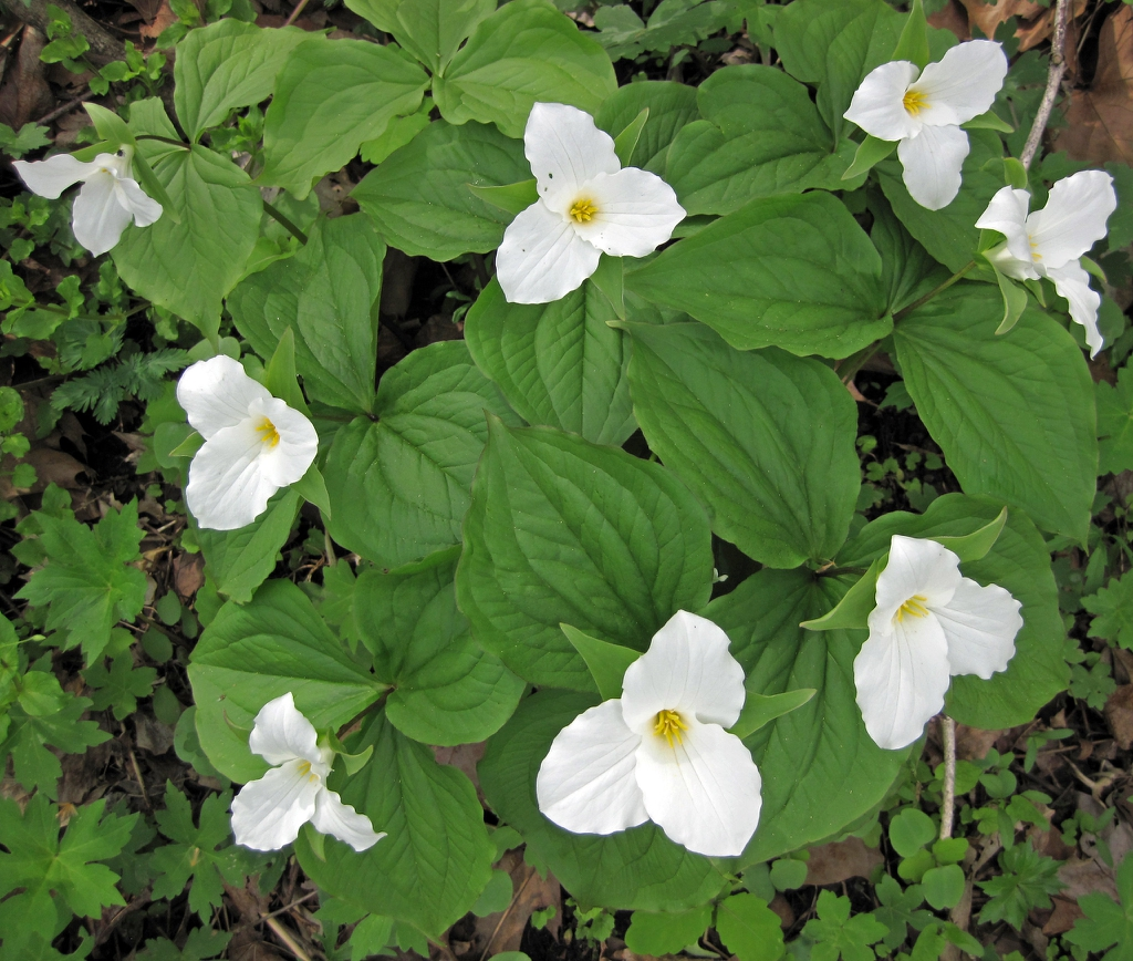 Trillium-plants