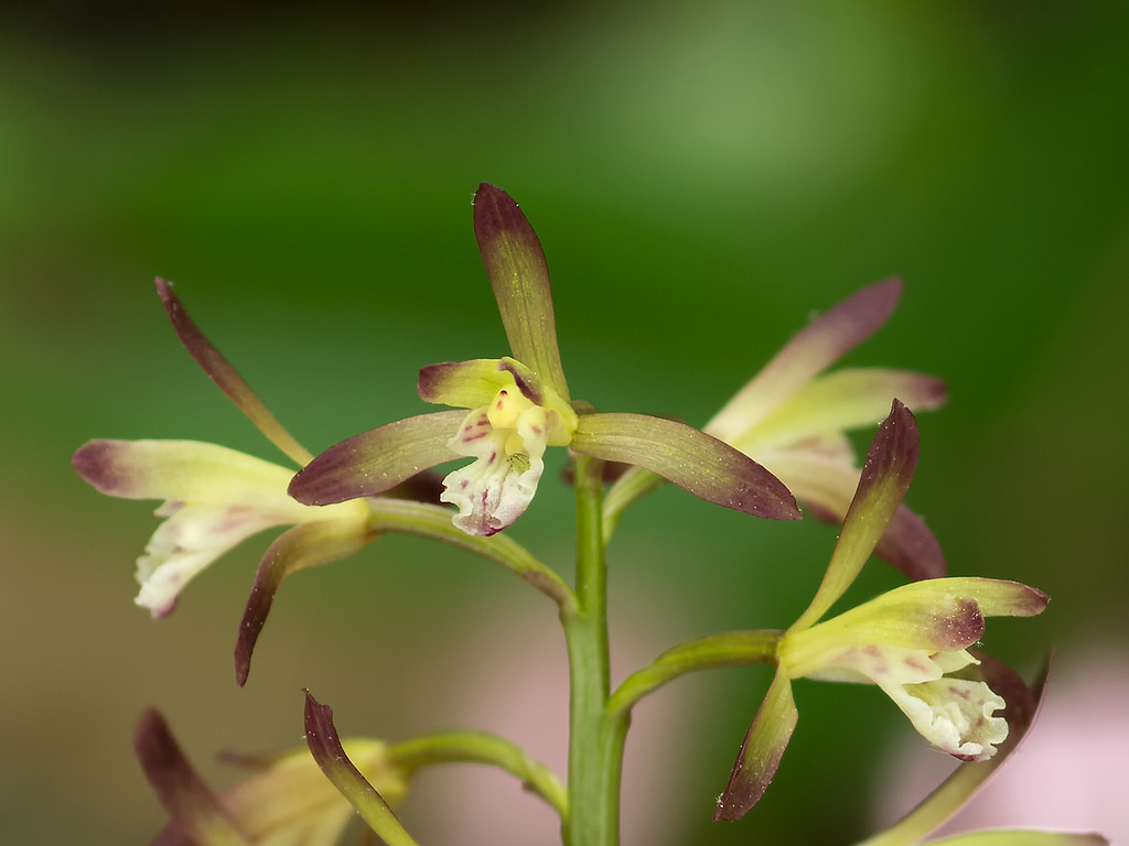 adam-and-eve-orchid