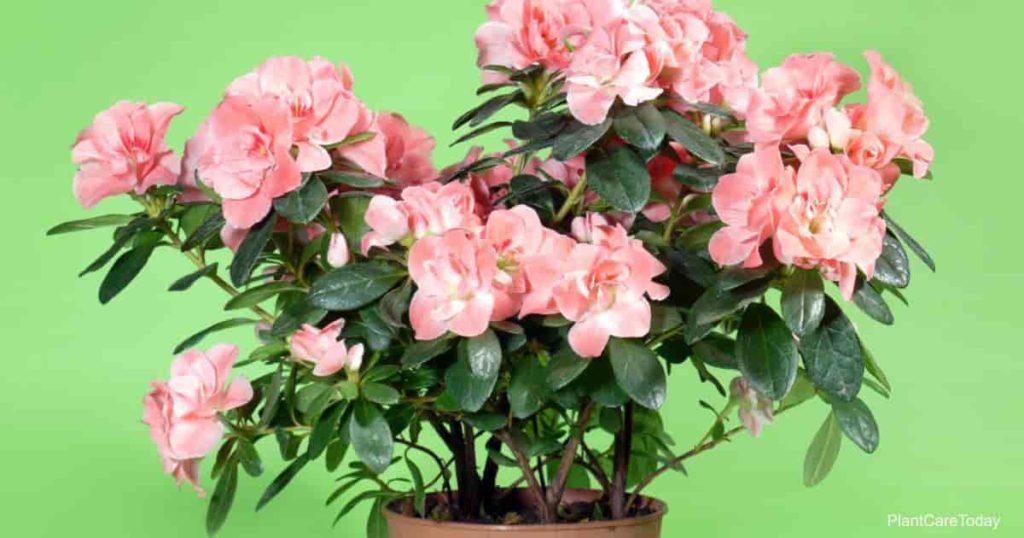Rosalea-plant-guide