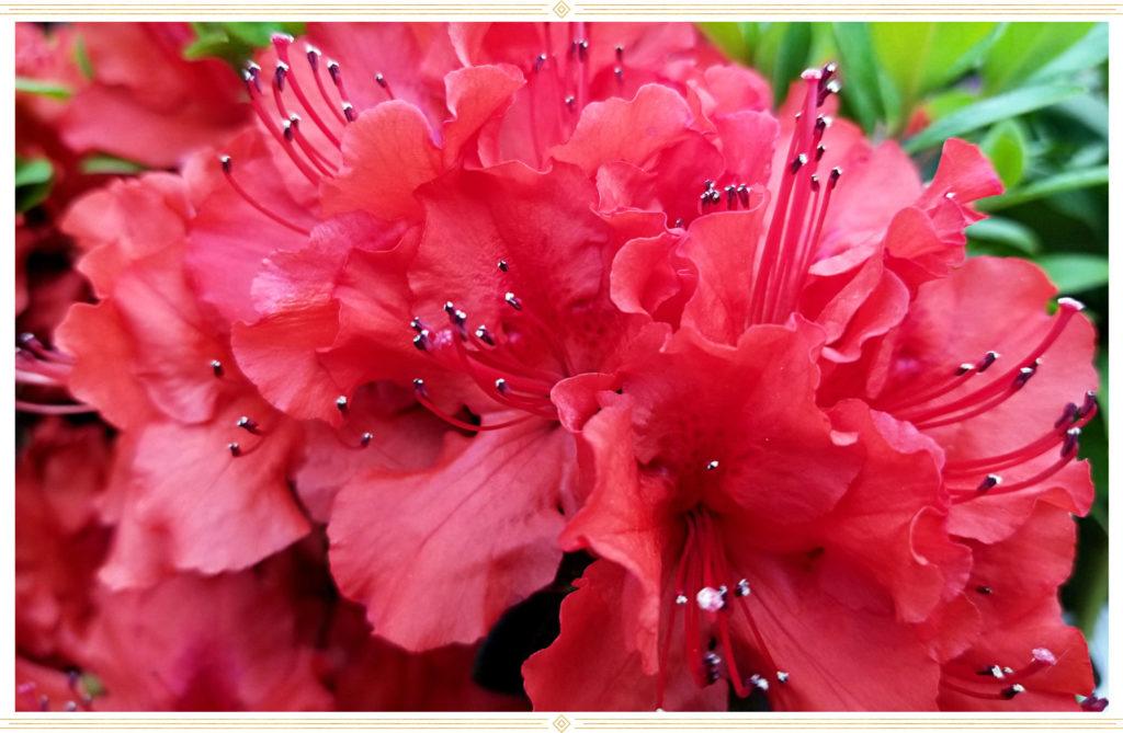 Azalea-plant