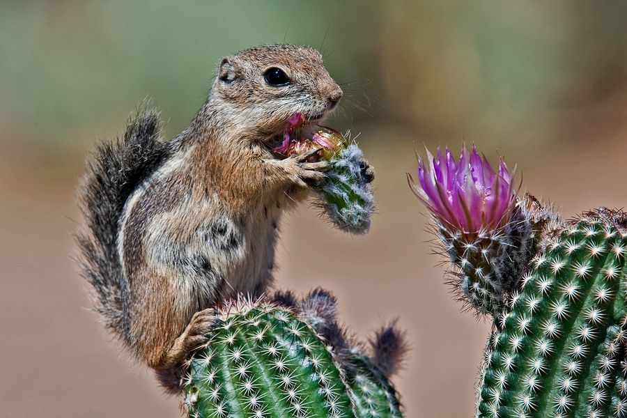 Antelope-squirrel