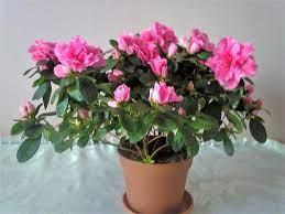 How-to-grow-rosalea