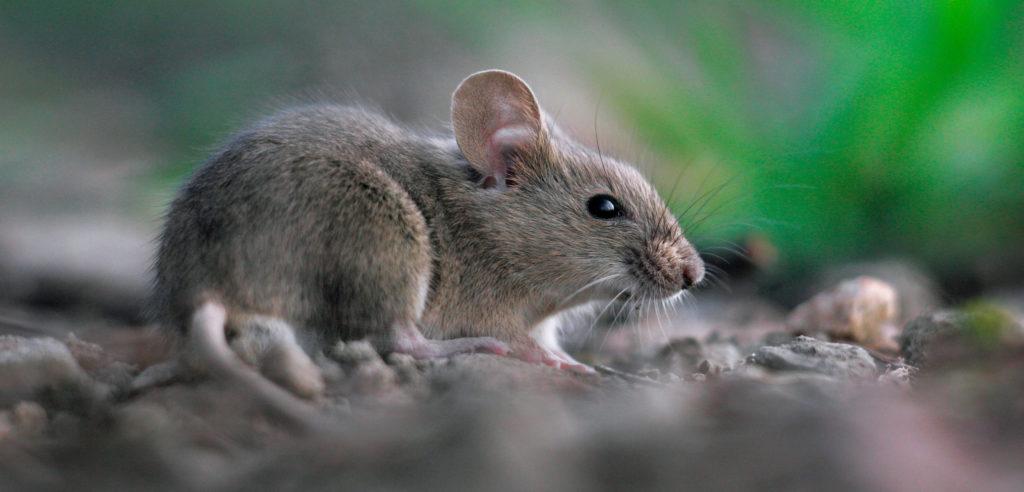common-mice