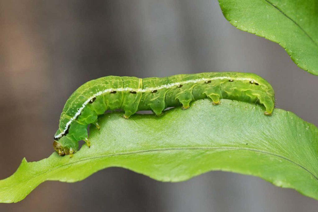 Caterpillars-feeding-on-peppers