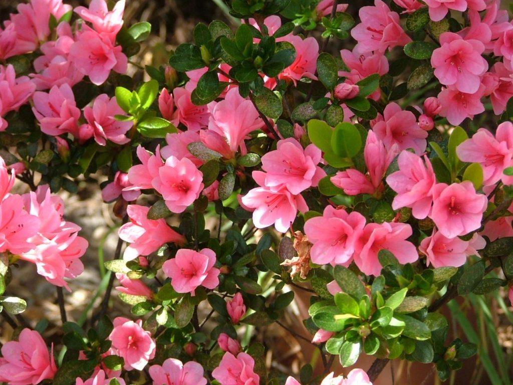 Rosalea-plants