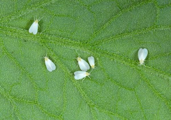 White-flies