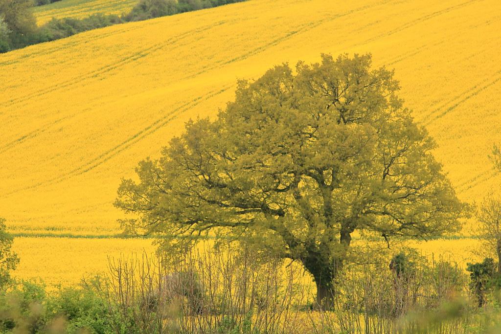 Tall-mustard-tree