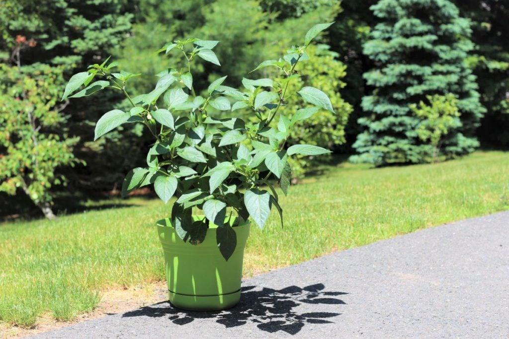 Jalapeno-plant