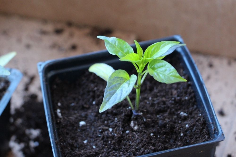growing-jalapenos-from-seed