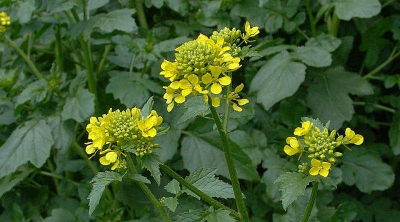 Yellow-mustard-flowers