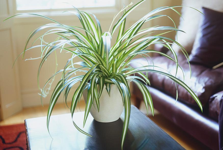 Spider-plant-around-dogs