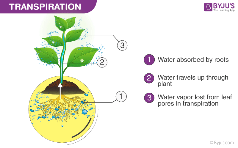 transpiration-process-in-plants
