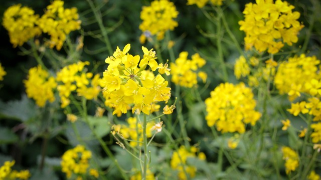 Mustard-flowers