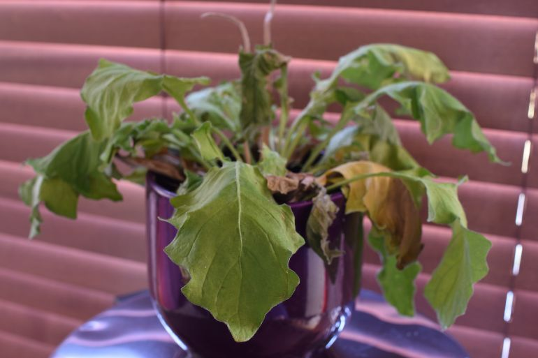leaf-discoloration