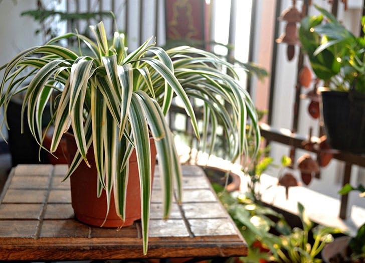 Are-spider-plants-poisonous