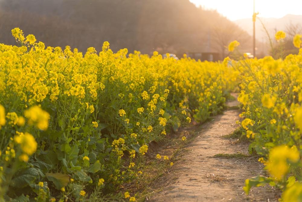 Mustard-bush-or-tree