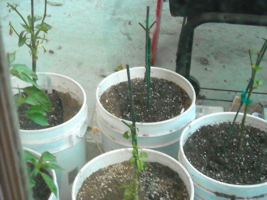 overwintering-jalapeno-plants