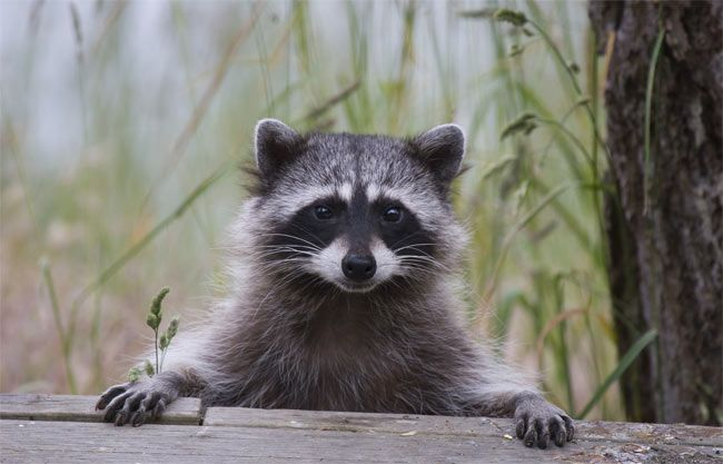 Prevent-raccoons-from-popping-in-yard