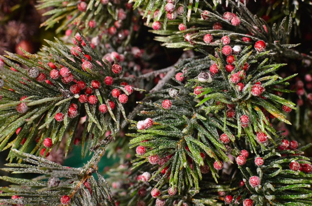 Yew-tree-with-berries