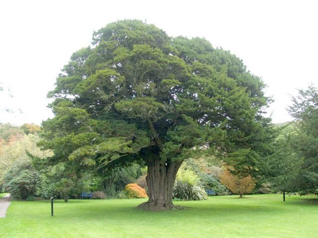 thousand-year-old-yew-tree