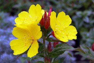 Primrose-flowers